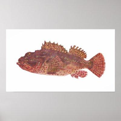 http://rlv.zcache.com/fish_red_rock_cod_scorpaena_cardinalis_poster-p228272516892734521tdcp_400.jpg