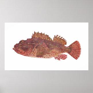 Fish - Red Rock Cod - Scorpaena cardinalis Poster