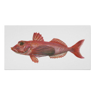 Fish - Sharp-Beaked Gurnard Poster