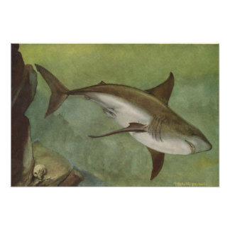 Fish - White Shark - Carcharodon carcharias Poster