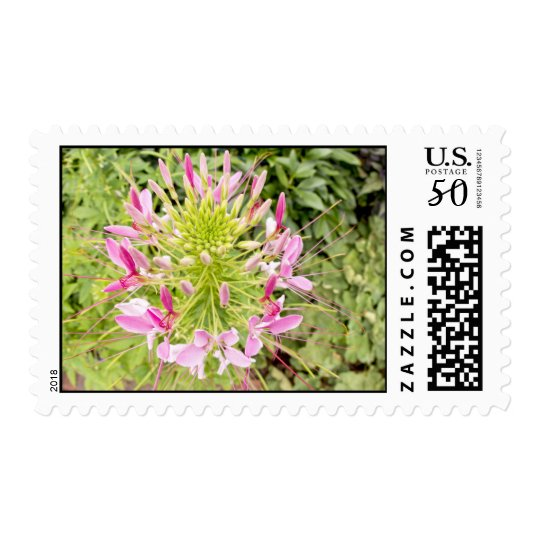 Fisheye View Of A Pink Cleome Flower Postage Stamp