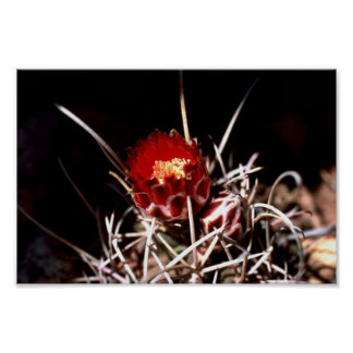 Fishhook cactus poster
