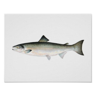 Fishing poster - Atlantic Salmon Fish