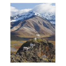 Five Dall sheep rams perch on a cliff Postcard