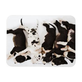 Five Harlequin Great Dane puppies sleeping Magnet