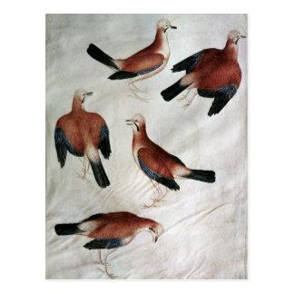 Five Jays, from the Vallardi Album Postcard