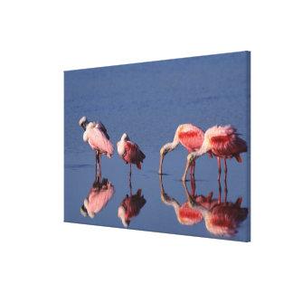 Five Roseate Spoonbills (Ajaia ajaja) feeding Canvas Print