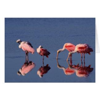 Five Roseate Spoonbills (Ajaia ajaja) feeding Card