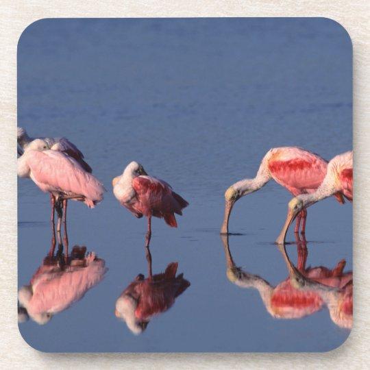 Five Roseate Spoonbills (Ajaia ajaja) feeding Drink Coaster