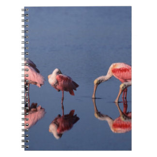 Five Roseate Spoonbills (Ajaia ajaja) feeding Notebook