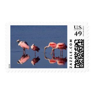 Five Roseate Spoonbills (Ajaia ajaja) feeding Postage Stamp