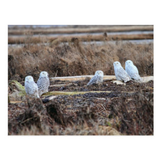 Five Snowy Owls Picture Postcard