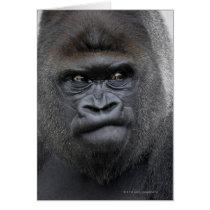 Flachlandgorilla, Gorilla gorilla,