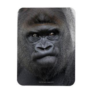 Flachlandgorilla, Gorilla gorilla, Magnet