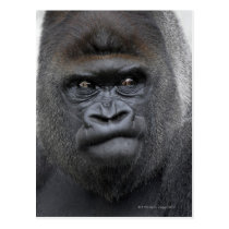 Flachlandgorilla, Gorilla gorilla, Postcard