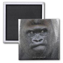 Flachlandgorilla, Gorilla Magnet