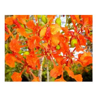 Flamboyan tree flowers (CloseUp) Postcard
