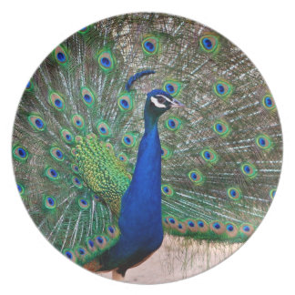Flamboyant peacock displays his tail feathers dinner plate