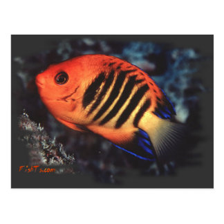 Flame Angelfish by H2Oasis Postcard