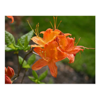Flame Azalea Spring Post Card