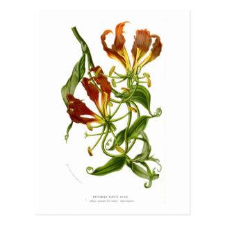 Flame lily (Gloriosa superba) Postcard