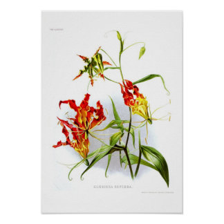 Flame lily (Gloriosa superba) Posters