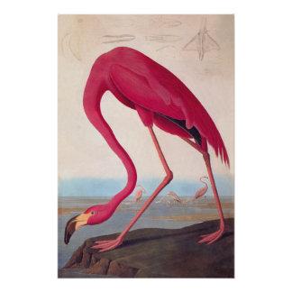 Flamenco del americano del Bookplate de Audubon Perfect Poster