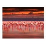 Flamencos en la puesta del sol postales