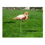 Flamencos rosados postal