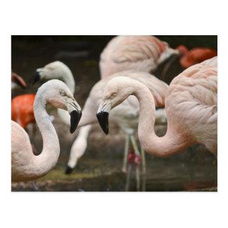 Flamencos rosados tarjetas postales