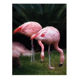 Flamingo - A set of Flamingos Postcard