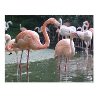 Flamingo Birds Postcard