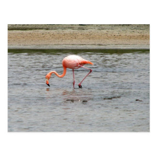 Flamingo, Isla Seymour, Galapagos Postcard