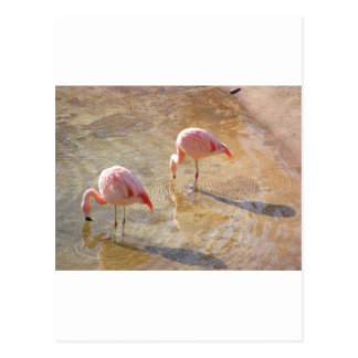Flamingo Morning Postcard
