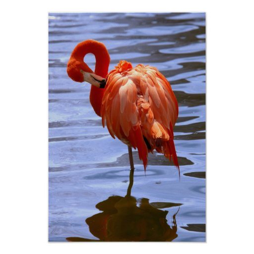 Flamingo on one leg in water poster