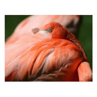 Flamingo Postcard