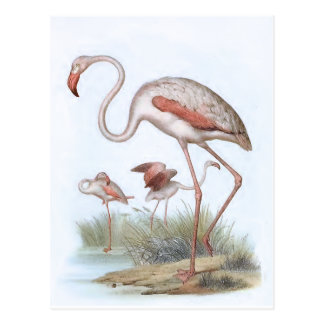 Flamingo Vintage Bird Illustration Postcard