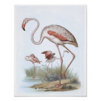 Flamingo Vintage Bird Illustration Poster