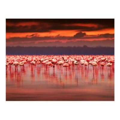 Flamingos at Sunset Post Cards