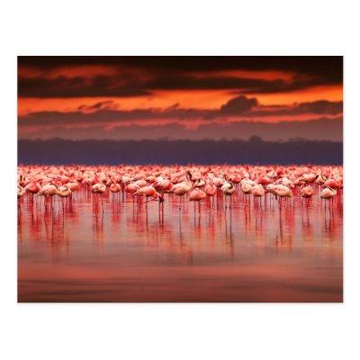 Flamingos at Sunset Post Cards
