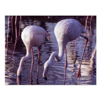 Flamingos Blackpool Zoo Post Card