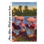 Flamingos in Florida Postcards