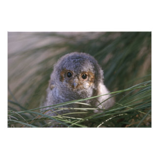 Flammulated Owl Chick Photograph