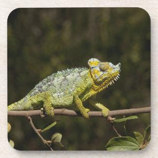 Flap-neck Chameleon Coaster