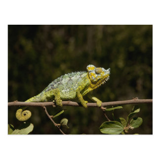 Flap-neck Chameleon Postcard