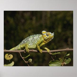 Flap-neck Chameleon Poster