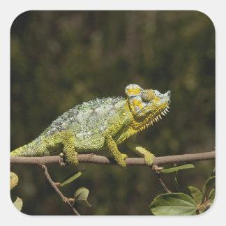 Flap-neck Chameleon Square Sticker