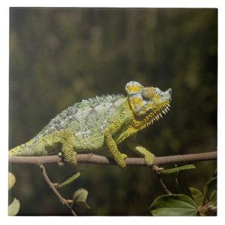 Flap-neck Chameleon Large Square Tile
