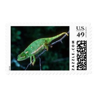 Flap-Necked Chameleon 3 Postage Stamp