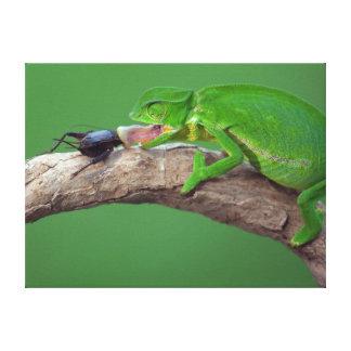 Flap-Necked Chameleon Canvas Print